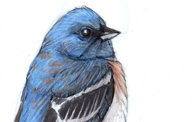 Learn How to Draw a Lazuli Bunting