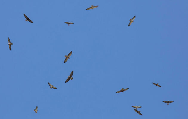 Acid-Covered Caterpillars Are a Delicacy for Migrating Swainson's Hawks
