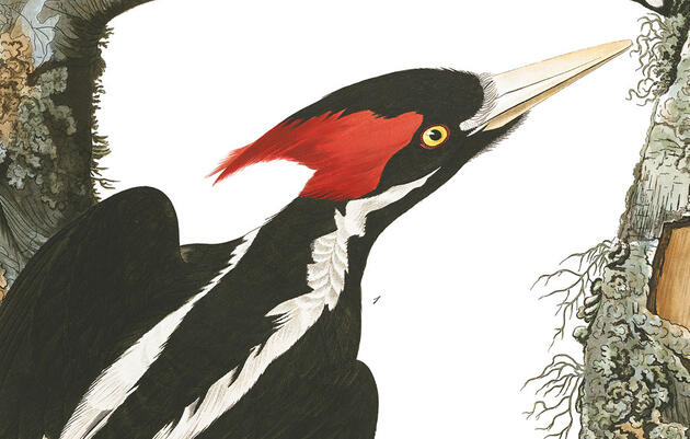 Possible Ivory-Billed Woodpecker Footage Breathes Life Into