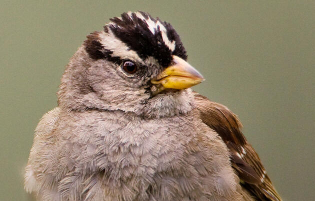 Why City Sparrows Are Singing A Very Different Tune