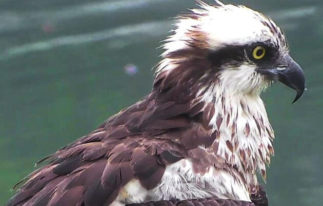 Bremen, Maine: Osprey Nest Webcam