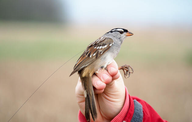 A Widespread Pesticide Causes Weight Loss and Delayed Migration in Songbirds