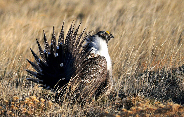Once Again Auduboners Speak Up to Save Sage-Grouse