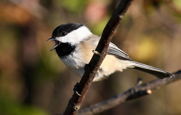 A Wave of Bird Alarm Calls Can Travel at 100 Miles Per Hour