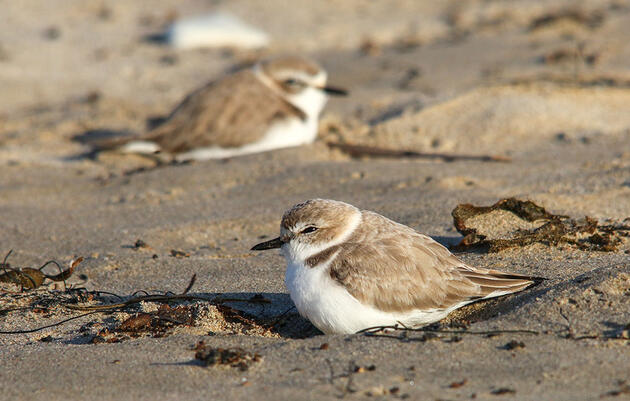 With Monitoring Limited, Someone Drove Through a Snowy Plover Nesting Site
