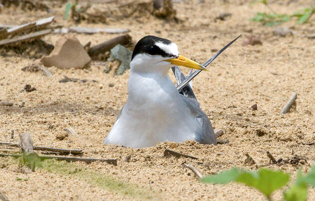 Proposed Delisting of Interior Least Tern Shows Value of Endangered Species Act
