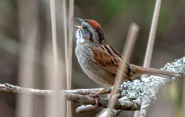 A Shaky Song Reveals an Old Sparrow's Age to Younger Competition