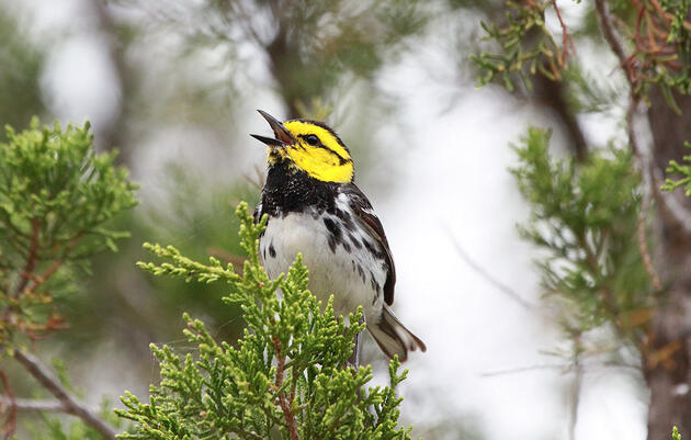 The Golden-cheeked Warbler Is Still Endangered, Federal Judge Rules