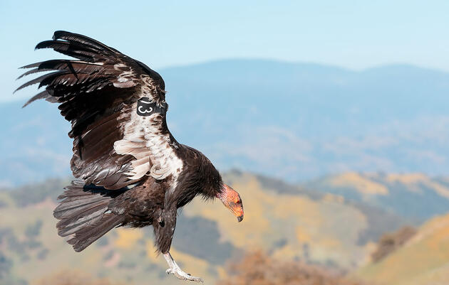 Lead Ammo, the Top Threat to Condors, Is Now Outlawed in California