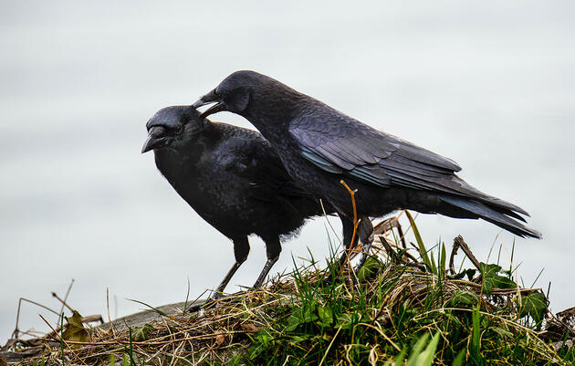 Crow Pairs Strengthen Their Bond Through Preening