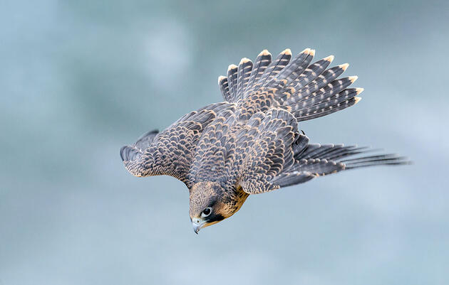 Research Reveals Exactly Why Peregrine Falcons Are so Deadly