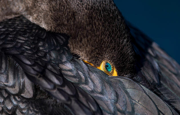 Without Solid Science, Government Plans to Expand Cormorant-Killing Efforts