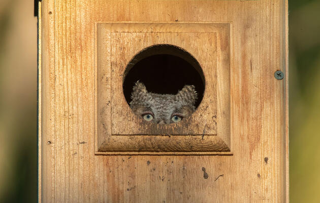 A Curious Owlet Peeks Out of Its Nest Box. A Vigilant Photographer Is Ready.