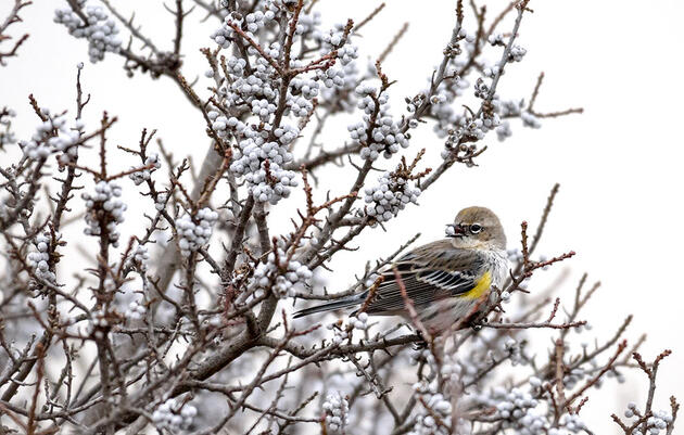 How the Yellow-rumped Warbler Survives Northern Winters