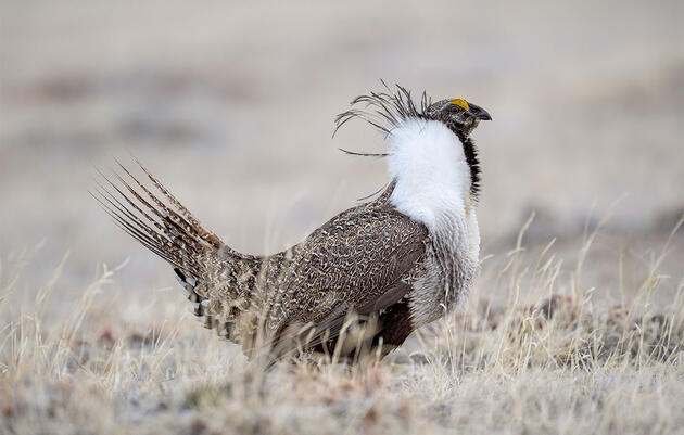 Federal Court Halts Administration Plans to Rollback Sage-Grouse Protections
