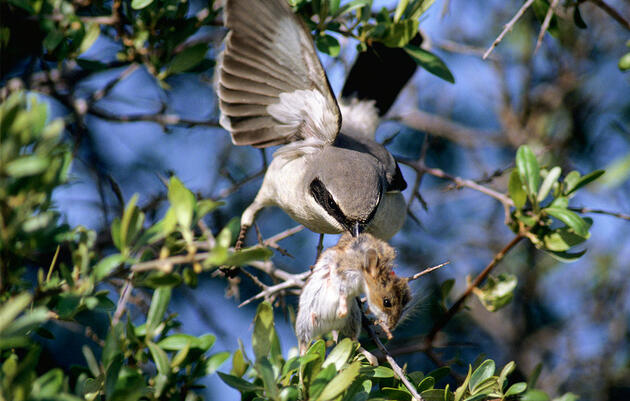 Shrikes Have an Absolutely Brutal Way of Killing Large Prey