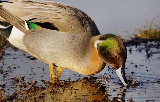 Which Birds Produce the Most Hybrids?