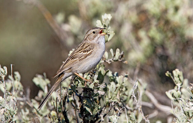 Listen to the Elaborate Song of the Brewer's Sparrow
