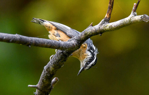Red-breasted Nuthatches Are Invading the Northeast This Fall
