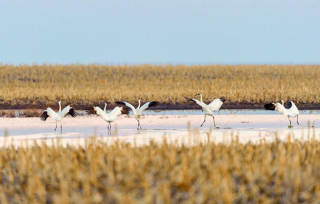 Whooping Cranes Need to Socially Distance, Too, According to New Report