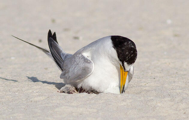 Birmingham Audubon Saves Terns After Beachgoers Destroy Hundreds of Eggs