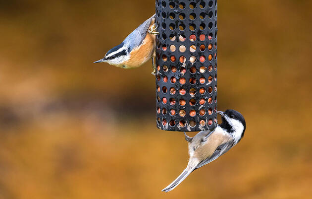 Why Are All Those Chickadees, Nuthatches, and Kinglets Hanging Out?