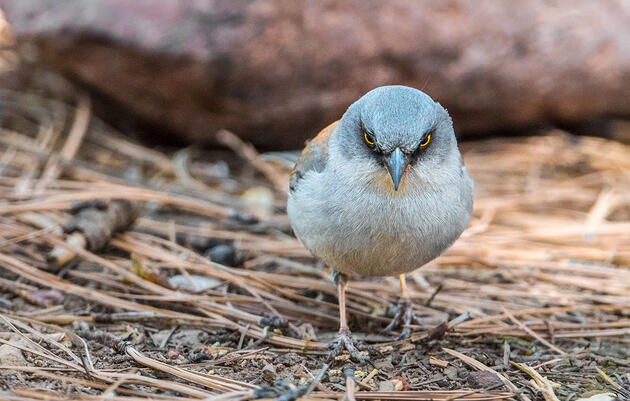 Get to Know the Yellow-eyed Junco