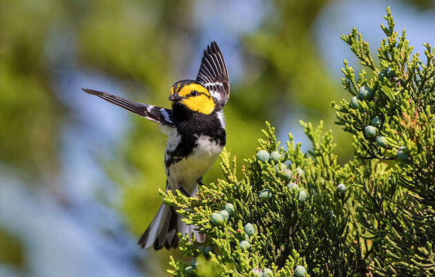 Proposed Pipeline Would Cut Through Golden-cheeked Warbler Habitat