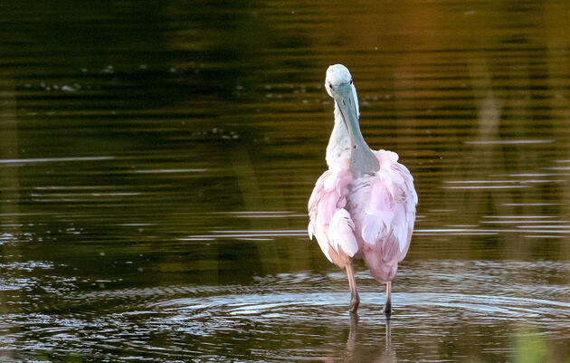 The Real Reason Behind This Year's Bizarre Spoonbill Sightings