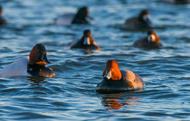 A Greener, Cleaner Chesapeake Is a Boon for Birds