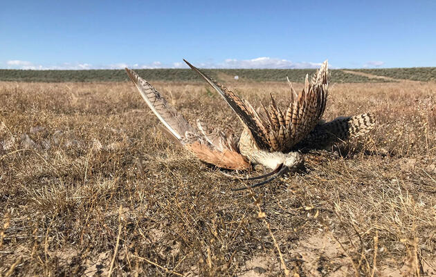 People Keep Shooting Long-Billed Curlews in Southwest Idaho