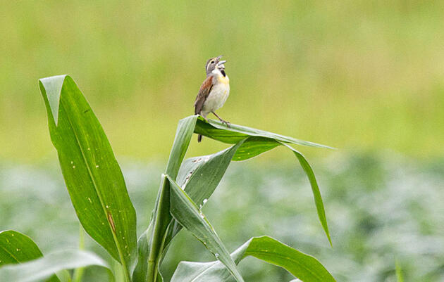 On Midwest Farms, 'Prairie Strips' Give Grassland Birds Something to Sing About