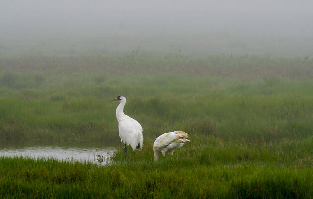 Seeing Endangered Whooping Cranes Step Through the Fog of Extinction