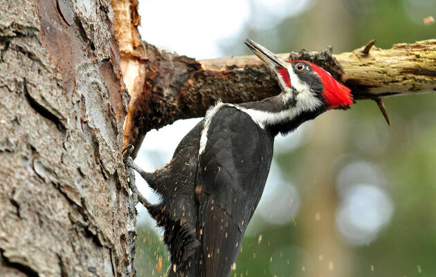 Why Woodpeckers Can Safely Slam Their Faces Into Trees