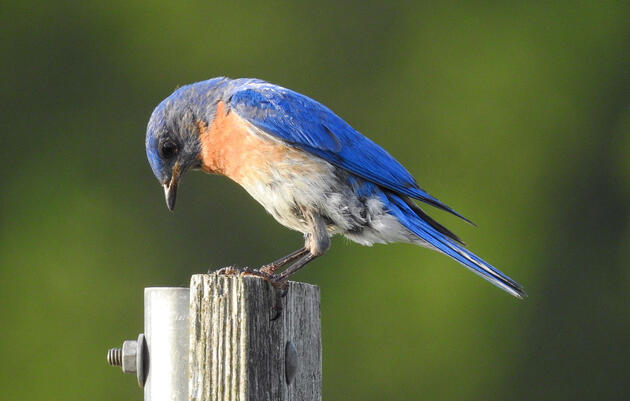 Chicks and Wasps Galore—Behind the Scenes of a First-Year Bluebird Trail