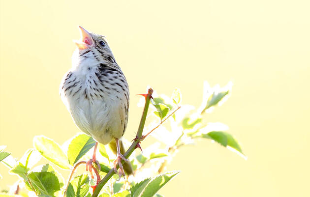 A Sparrow-Sized Mystery, Solved