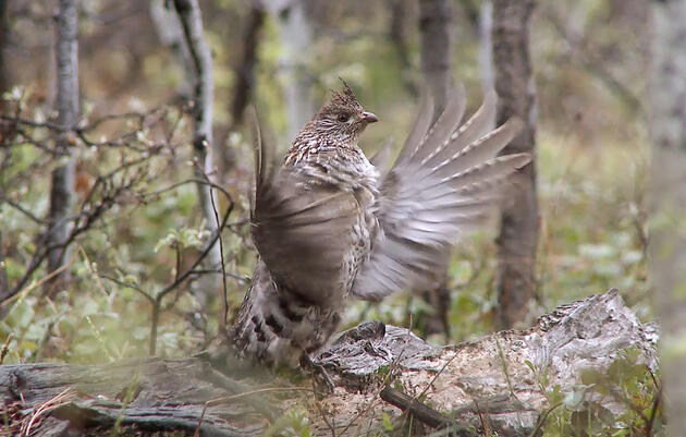 See and Hear the Ruffed Grouse's Haunting Air Drumming