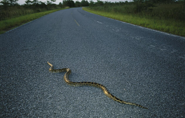 Everglades Pythons Exhibit New Behaviors