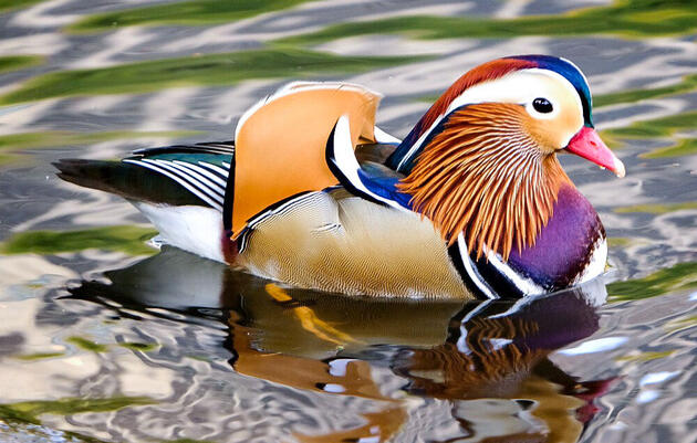 An Open Letter to the Central Park Mandarin Duck