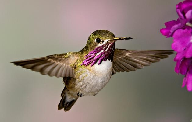 Audubon Launches Hummingbird Citizen Science Project