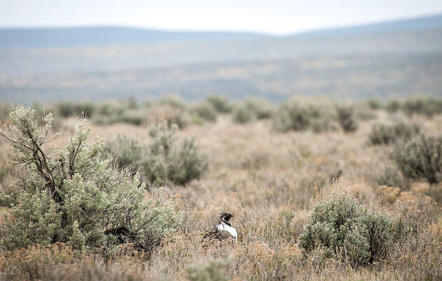 Celebrating Sagebrush: The West's Most Important Native Plant
