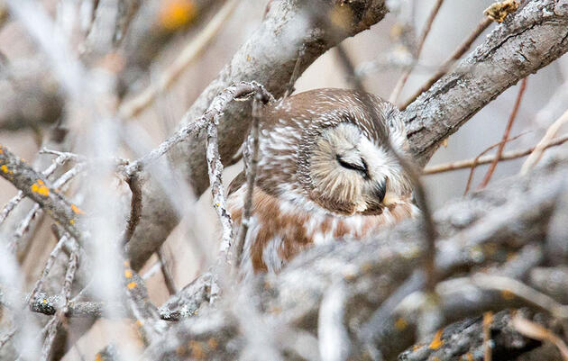 Find Northern Saw-whet Owls With These Five Tips
