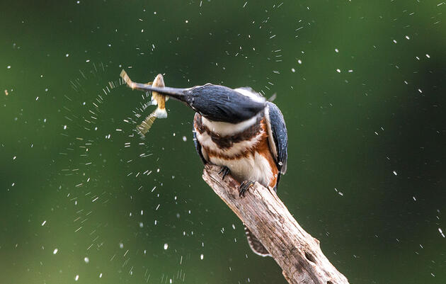 Do All Kingfishers Actually Eat Fish?