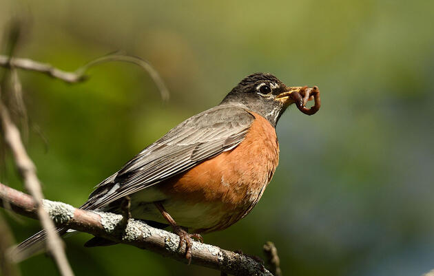 The Surprisingly Specific Conditions Robins Need to Nest