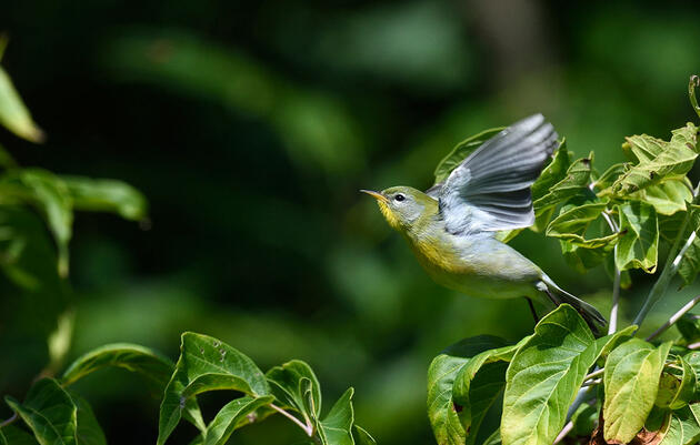 It's True, Some North American Birds Can't Keep Up With Shifting Spring Blooms