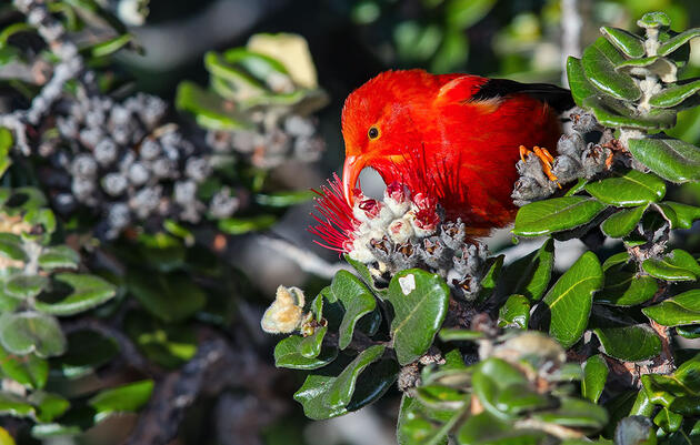 The 'I'iwi, a Besieged Hawaiian Forest Bird, Is Now Listed as Threatened