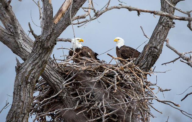 Bald Eagles Spring-Clean, Too