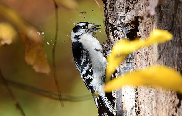 A Lifetime of Hammering Trees Might Affect Woodpecker Brains After All