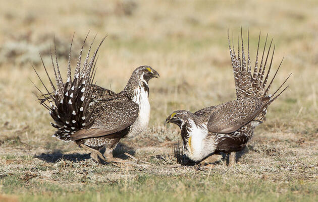 In New Poll, Majority of Westerners Support Current Greater Sage-Grouse Conservation Plan