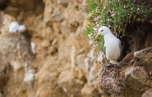 Hungry Seabirds and Snowy Owls Show Worrying Declines in IUCN Red List Update